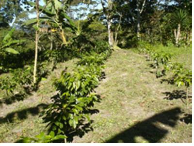 Alcanzar una gestión sostenible de los cultivos de cafetales de 254 familias del Departamento de La Paz (Honduras) mediante el uso de técnicas de agroforestería.